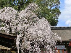 京都('16 花見)