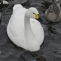 雪が舞い散る猪苗代湖の湖面に白鳥を訪ねてみました。