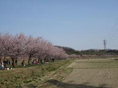 安行寒桜の桜並木は北浅羽桜堤公園 2017