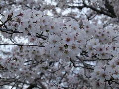 水源公園 -- 愛知・豊田の桜の名所(2016年の桜の記録)