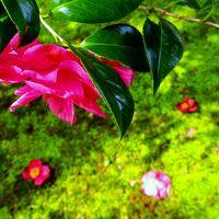 春の柔らかい日差しを浴びた苔の庭に降る椿