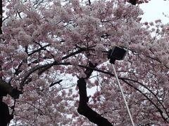 咲き始めた上野公園のさくら