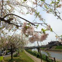 桜ひらひら鰭ヶ崎