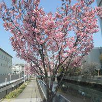 桜前線2017、横浜ご近所。