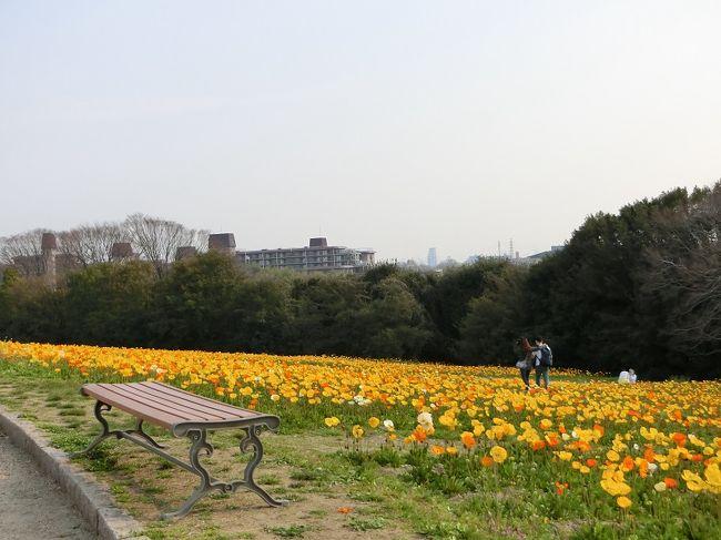 """「万博記念公園・花ごよみ」によると、ポピーの見頃は4/10日頃から5月初旬になっています。<br /><br />その期間に行こうと思っていましたが、万博記念公園を知り尽くしている友人から""""今、ポピーは8分咲き、十分見ることができるよ。""""との情報がありました。<br />""""ちょっと早いかな""""と思いつつも、友人の情報を信じて、万博記念公園・自然文化園にある「花の丘のポピー畑」に行って来ました。<br /><br />花の丘に出かけたのは、昨年10月コスモス見物に行って以来、約半年振りでした。<br />花の丘では東西南北の斜面全域に、春には「ポピー」、秋には「コスモス」が咲きます。<br /><br />平日のためか、花ごよみより随分早い時期であったためか、見物客は予想より少な目で、若いカップルの姿が目立ちました。<br /><br />ポピーは満開ではありませんでしたが、それなりに咲いていました。もし、よろしければ一見していただければ有難く思います。<br /><br />オッチャンは「ポピー」に対する知識はありませんので、ちょっとだけ「ポピー」について調べました。<br /><br />【ポピーに関する豆知識】<br /><br />学名:Papaver<br />英名:Papaver/Poppy<br />分類:ケシ科<br />花の色:赤・白・オレンジ・黄・ピンク<br />"""