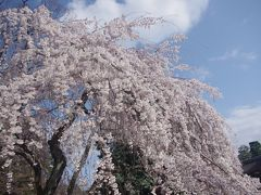 待ち焦がれた京都御苑の桜 2017