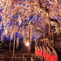 愛知 早咲きの桜めぐり〜源空院、穴観音公園、長誓寺など