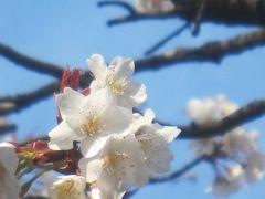満開になったソメイヨシノ 飛鳥山公園でお花見です (^^)v