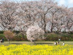 幸手桜まつり2017--幸手権現堂桜堤でお花見!
