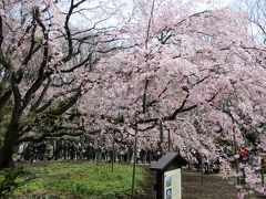 2017年春 桜(駒込、王子)