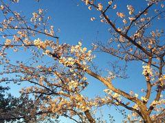 第八回福岡城さくらまつりの夜桜見物に娘と行って来ました。二日続きの花見は「花もよしお酒もよし」でした(^0^)