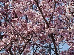伊丹散策 桜花を求めて、天神川から瑞ヶ池公園へ 上巻。