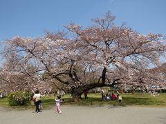 東京文京区小石川のさくら・・播磨坂さくら並木と日本最古の小石川植物園をめぐります。