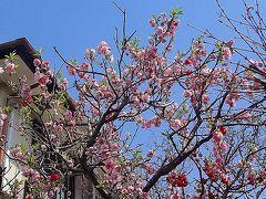 20170406今日の鎌倉散歩・ようやく見頃(^^♪鎌倉の桜