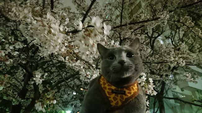夜桜を見てきました。<br />桜を愛でるだけで幸せな気持ちになりますね。