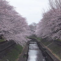 2017年の桜観賞・・・・・�善福寺川緑地公園