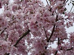 花見バスツアーに参加(04) 宇治公園一帯の観桜 下巻。