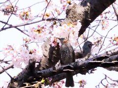 春・春・春 この季節になると 歳を重ねてもこころウキウキ? ヒヨドリも恋の季節!