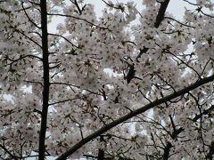 岡山でお花見