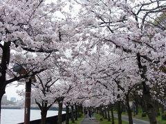 【速報版】さくら探訪記□17年春~大阪・毛馬桜之宮公園
