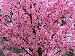 大阪万博記念公園・自然文化園の桜便り。(2017)