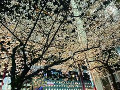 2017年4月 東京夜桜めぐり♪上野公園~六義園~日本橋さくら通り♪