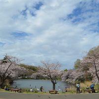 関東 さくら巡り 横浜三ッ池公園、埼玉みさと公園、東京水元公園、隅田公園、上千葉砂原公園など