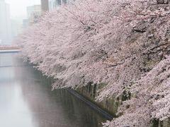 雨の週末 目黒川の桜満開です  2017