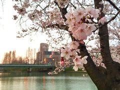 2017年 桜之宮公園の桜