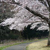 多々良沼公園のサクラ_2017(1)_8分くらい咲いている樹もあれば、開花していない樹もあります。(群馬県・邑楽町)