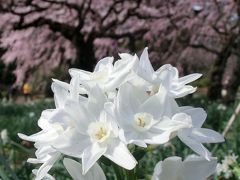 新宿御苑で桜を堪能♪~2017~