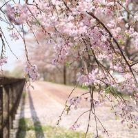 桜ネックレス -- 桜を訪ねて(2016年の桜の記録)