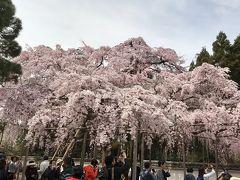大阪に宿泊して、京都へ桜を見に。