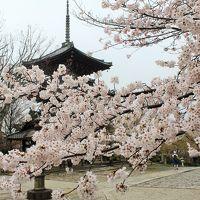 京都の桜♪高瀬川〜祇園白川、金戒光明寺、真如堂♪ジャン=ポール・エヴァン京都でブランチ&DiningCafebar閏でディナー♪