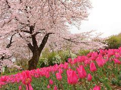 7年ぶり 奇跡のコラボ-芝桜×染井吉野-春の競演