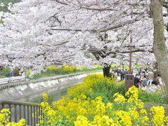 京都の桜を満喫 琵琶湖疏水を散歩