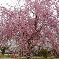 飛鳥から吉野まで桜を追って駆ける