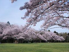 森の中の桜 泉自然公園