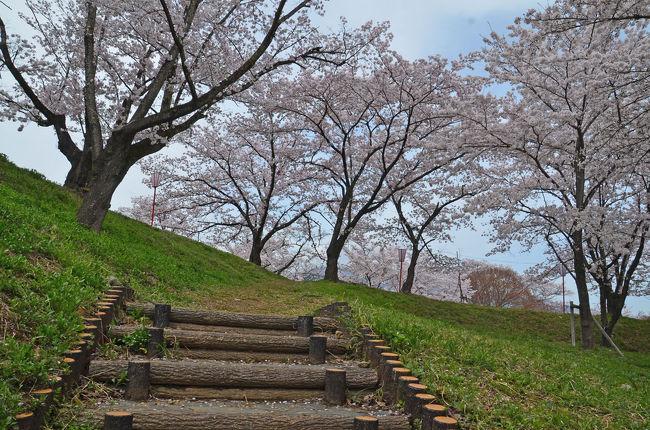 """地元の桜はまだいまいちなので、いろいろ調べて県西部か愛知県に行こうかと検討しましたがお天気が良くないようです。<br />そこで晴れ間も出る予報になっていたR52富士川の上流方面に行くことにしました。<br />第1回の今回は、富士川町の大法師公園です。<br />ここは、""""日本さくら名所百選""""にも選ばれていて大法師山の小高い山頂が淡いピンク色に染まるとの事です。(富士川町のHPより)<br />ちょうど開催されていた""""第37回 大法師公園さくら祭り""""(03月29日~04月09日開催)が終わったところですので空いているかと思いましたが、予想以上に混んでいて驚きました。<br /><br />★富士川町のHPです。<br />http://www.town.fujikawa.yamanashi.jp/index.html<br /><br />★桜名所 全国お花見1000景2017年度版のHPです。<br />https://hanami.walkerplus.com/"""