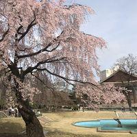 突然のソウル桜 ショートトリップ