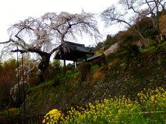 桜並木を見下ろす孤高の桜