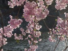 夕陽に映える枝垂桜の良い写真が撮れました。予想以上でした。