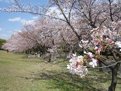 庄内緑地の桜のトンネル。中に入るのも良し,外から見るのも良し。いいところです。