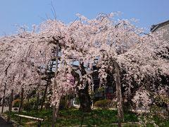 山科、東山、京都日帰りぶらぶら桜散歩
