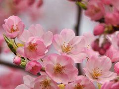 ご近所の桜 ① ※錦町公園のコヒガンザクラ※