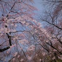 """"""" 2017 春まっ盛り!桜に魅せられて、やって来ました「オンブニダッコ」の外人さん親子との桜観賞 Part1"""""""