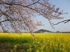 藤原宮跡の菜の花と桜といちご狩り