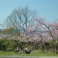 桃と桜のお花見ドライブ 笛吹川フルーツ公園と武田神社