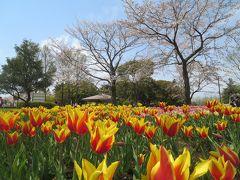 週末散歩 国営昭和記念公園 桜・菜の花・チューリップ豪華競演