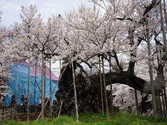 2017.4 満開の桜を訪ねて~山高神代桜とシャトレーゼ白州工場見学